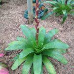 Vriesea Intermedia -