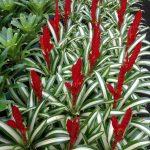 Vriesea Whiteline -