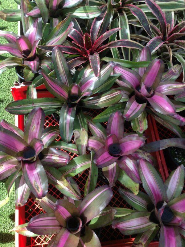 Neoregelia Purple Glaze