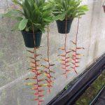 Vriesea Simplex -