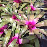 Neoregelia Purple Beau -